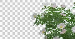 Bush White Rose Grass Green Plants Leaves Flowers - stock footage