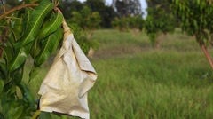 Mango in wrapping paper carbon bag Stock Footage