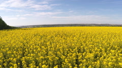 AERIAL: Flight over the mustard field - stock footage