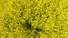 AERIAL: Flight over the mustard field Stock Footage