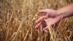 Field with Ears of Corn and a Human Hand Stock Footage