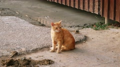 Feral Orange Tabby Cat sitting near metal fence Stock Footage