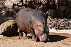 Hippopotamus from africa in the wild terrain - stock photo