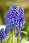 Beautiful blue Grape Hyacinth flowers close up Stock Photos