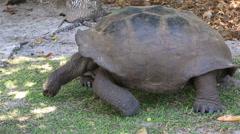 Aldabra giant tortoise eats grass Stock Footage