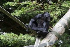 Black Spider Monkey ( Ateles paniscus) Stock Photos