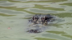 American alligators in Everglades NP. Stock Footage