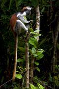 ape in the island of  zanzibar - stock photo