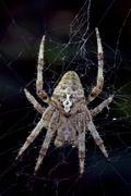 spider  Araneus Angulatus - stock photo
