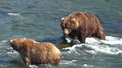 Boar Who Is Courting Sow Brown Bear Encourages Her to Go to Shore Stock Footage