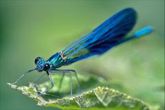 coenagrion puella on a leaf - stock photo