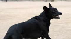 Black Dog Playing Fetch Tennis Ball Mutt Fetching Running Jumping Catching 4K Stock Footage
