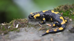 Salamander in the Wild Stock Footage
