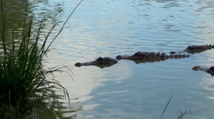 Breeding season of American alligators in Everglades NP. Florida, USA. Stock Footage