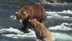 Closer View of Courting Brown Bears Fishing in Salmon River Stock Footage