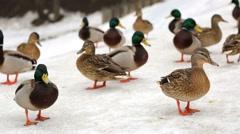 Ducks in a winter park. Stock Footage