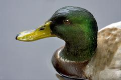 a duck in the grey - stock photo