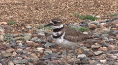 Killdeer Calling Out Stock Footage