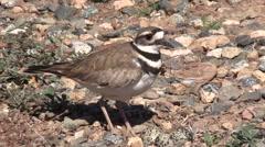 Killdeer Protecting Nest Stock Footage