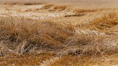 destroyed wheat - stock photo