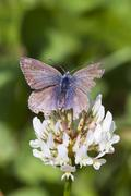 Common Blue Butterfly (Polyommatus icarus) - stock photo