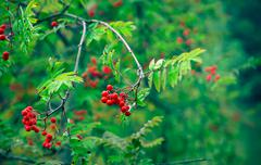 Berries of red rowan - stock photo
