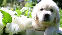 Beautiful golden retriever puppy sitting in a basket with flowers in nature Stock Footage