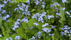 Blue flowering forget-me-not (Myosotis), lots of Stock Footage