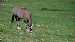 Oryx gazella, herbivore Stock Footage