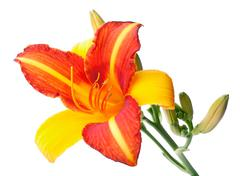 Red-yellow lily closeup - stock photo
