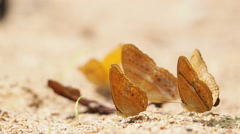 Nymphalida Cirrochroa tyche butterflies are eat mineral. Stock Footage
