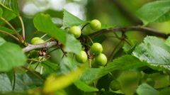 cherry tree in spring with growing green cherries, close-up, bokey background - stock footage