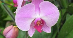 Close up view of tropical orchid flower. Details of elegant petals and colors  Stock Footage