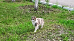 Beautiful gray pussycat with white chest standing on the grass and walk out Stock Footage