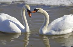 Stock Photo of The mute swans in love