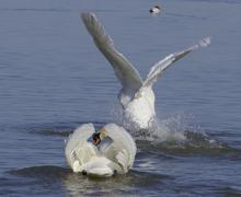 The swans take off Stock Photos