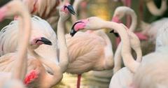 Flamingos ritual dancing and breeding season Stock Footage