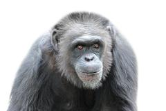 Stock Photo of A gorilla on white background, close up