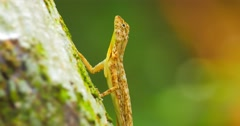 Close up detailed video of Draco Taeniopterus - exotic fauna of tropical forest Stock Footage