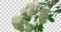 Flowers of Cherry Green Plants Branches Leaves Stock Footage