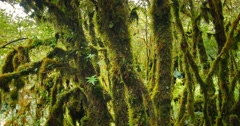 Dolly tracking shot of mossy tree branches in dense forest of Thailand highlands Stock Footage