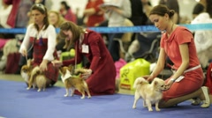 Adorable chihuahua dogs in a row during dog show. Stock Footage