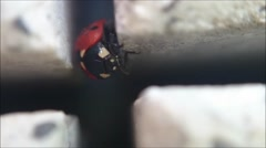 Ladybug climbing in cross from paving stone Stock Footage