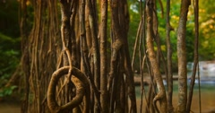 Aerial roots and liana vines in tropical rainforest. Tracking slider video Stock Footage