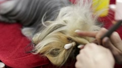 Grooming beaver york during dog show Stock Footage