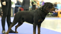 Rottweiler during dog show Stock Footage