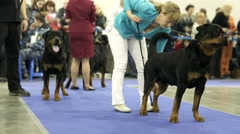 Rottweilers during international dog show Stock Footage