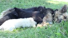 Dog Feeding Puppies Stock Footage