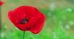 Stock Video Footage of Vibrant red color poppy sensual and elegant flower blooming outdoors on green