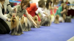 Yorkshire terriers in a row during dog show Stock Footage
